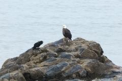 Bald Eagle and Raven 5 Jul 12 (1)