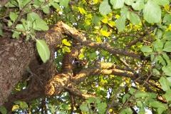 Raccoon in Apple Tree 3 Jul 05_005